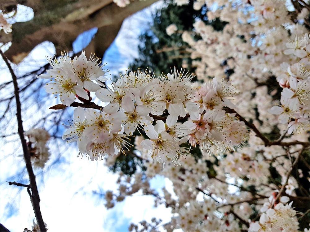 Foto de uma sakurá (cerejeira) florida em Kyoto, Japão