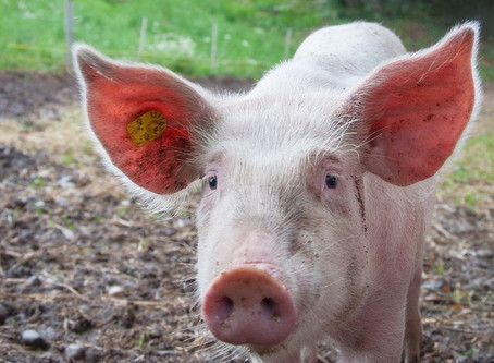 How To Get Started Raising Pigs On The Homestead