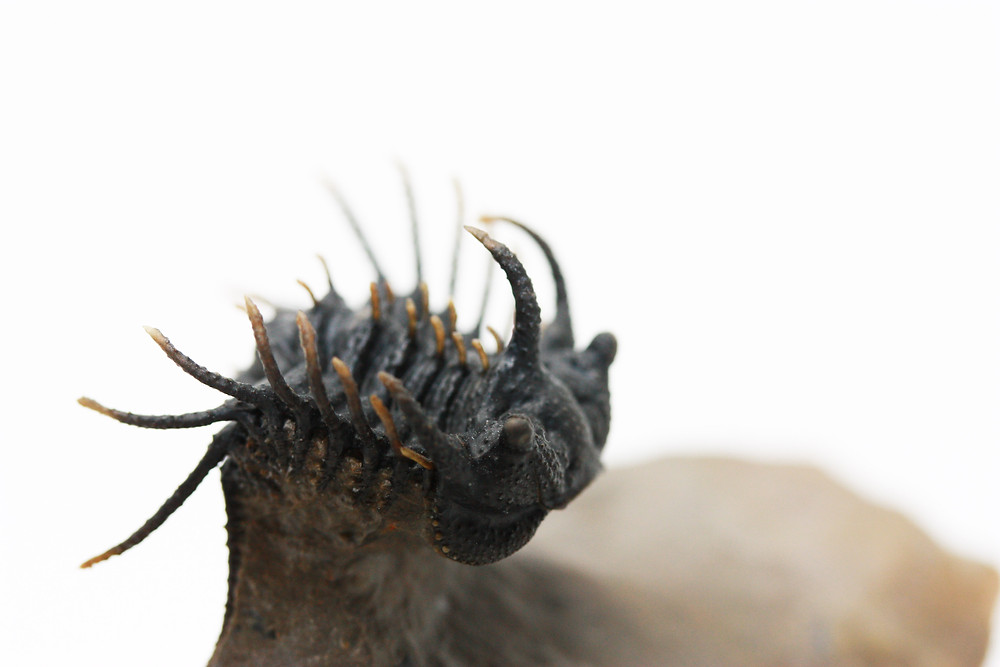 Koneprusia trilobite fossil devonian morocco