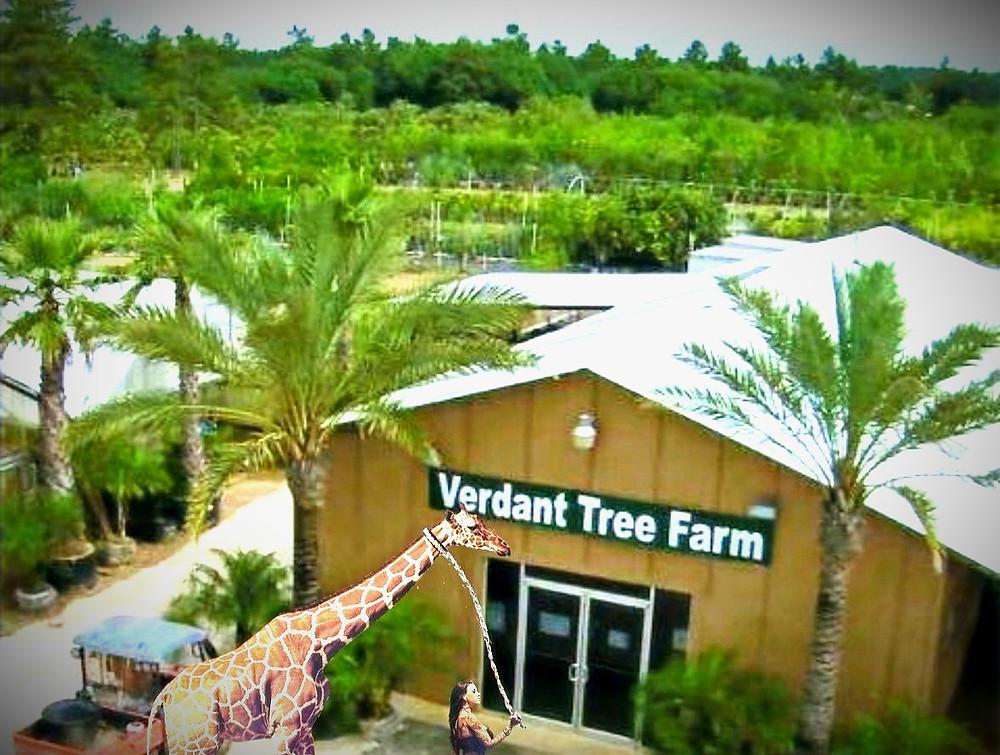 Verdant Tree Farm, BIG TREES and BIG Palms, HUGE TREES, Medjool Date Palms, Sylvester Palm, Mule Palm, Pindo Palm, Oak Tree, Holly Tree, Big Tree Nursery, Big Palm Nursery