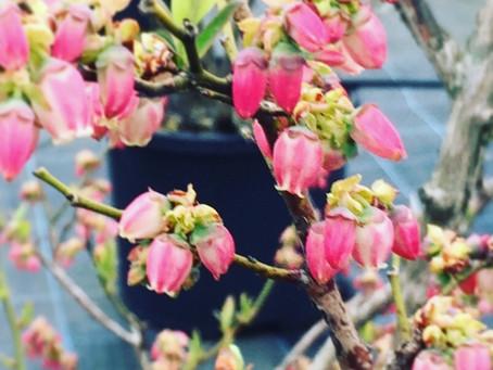 ブルーベリーの花が咲き始めました!