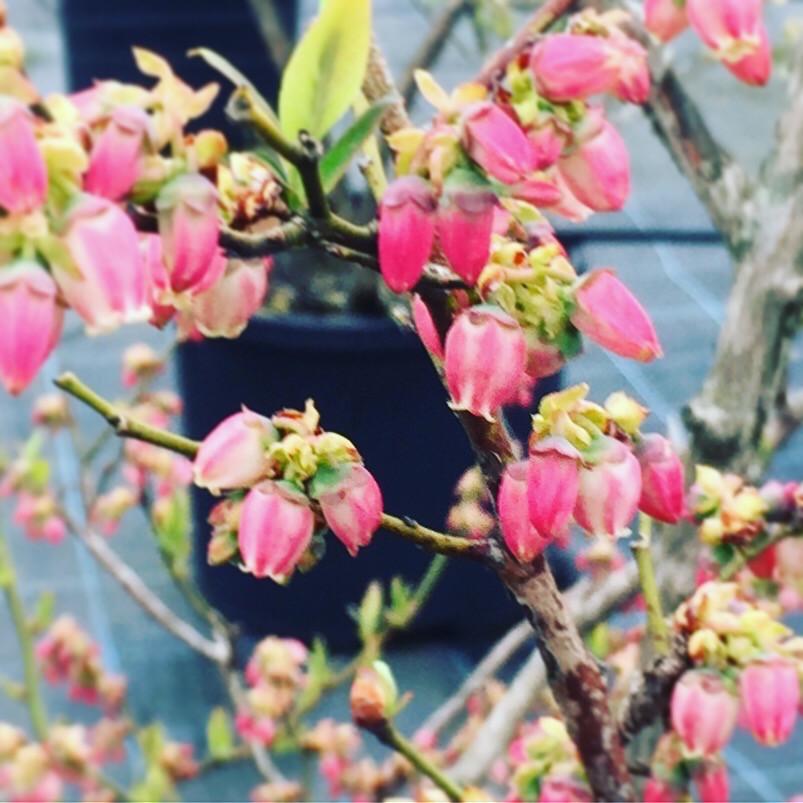 高島ブルーベリファームのブルーベリーの花