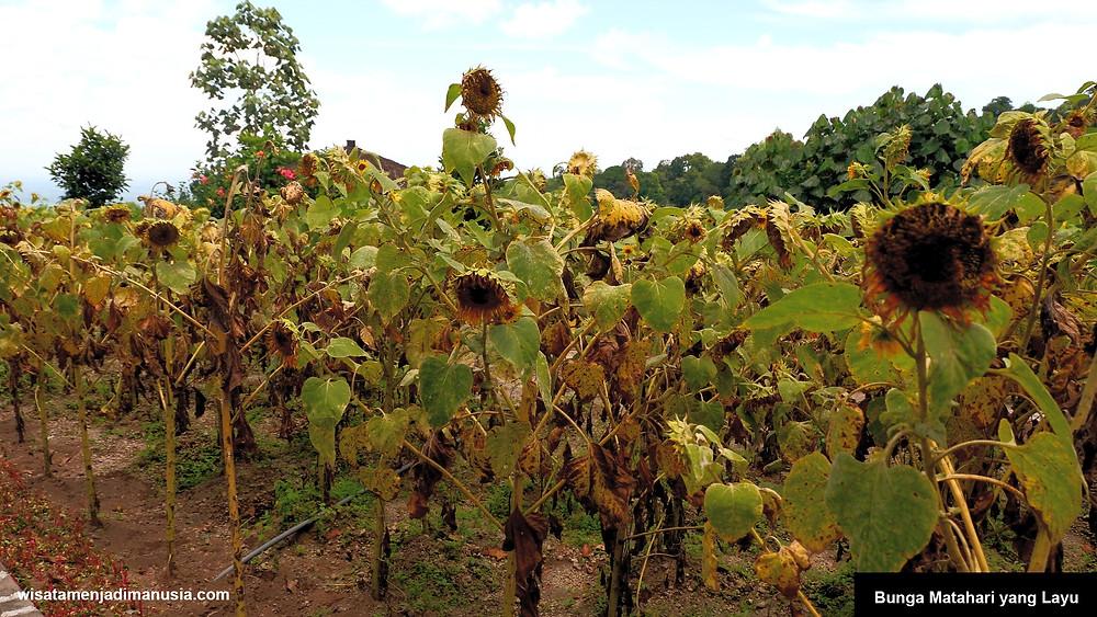 Bunga Matahari di Wisata Bukit Kelud Sudah Layu