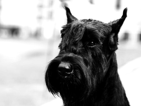 Case of the month: symmetrical lupoid onychodystrophy in a Giant Schnauzer