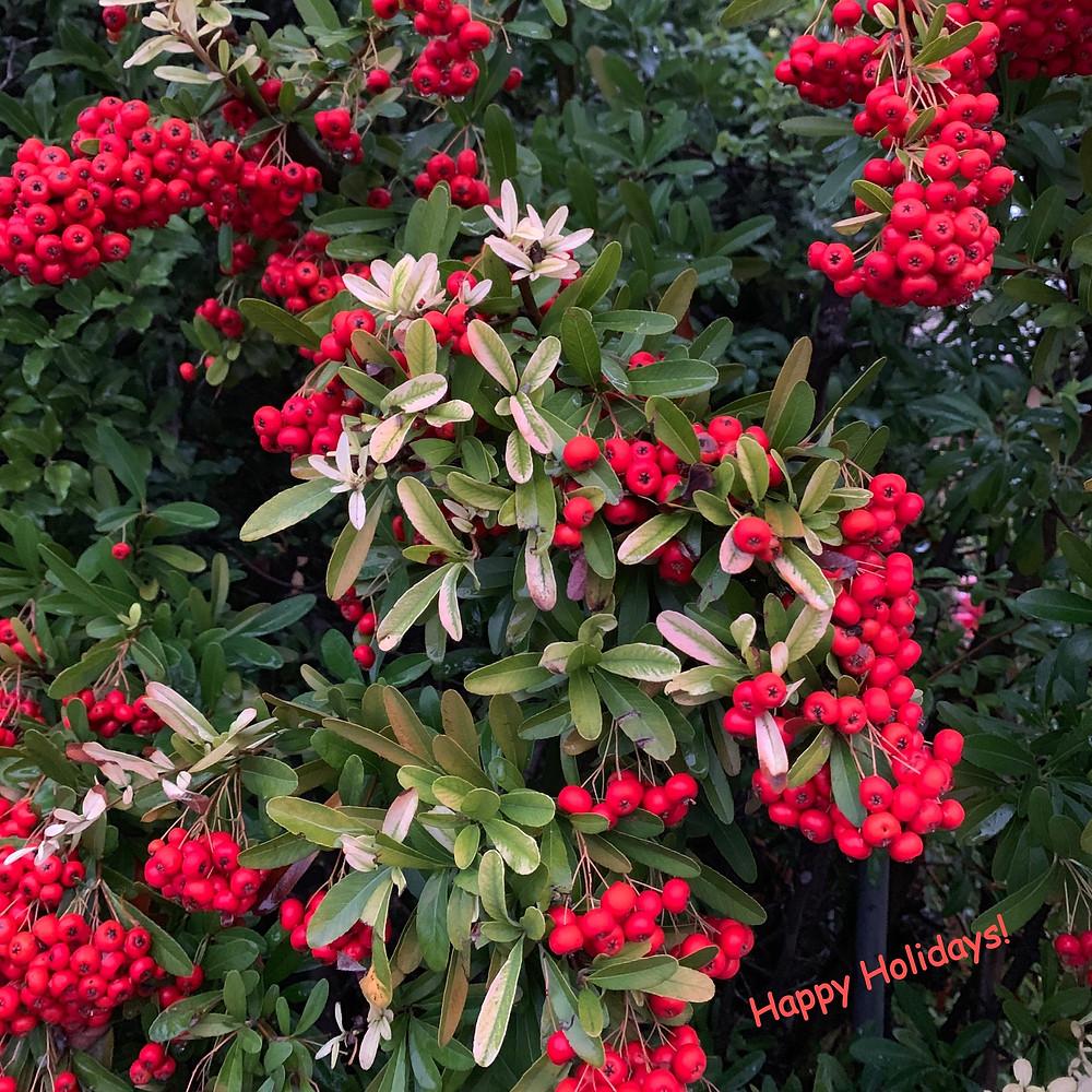 Pyracantha Berries, Palo Alto, CA: Photo by Martha Clark Scala