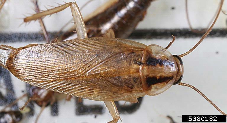 B. germanica