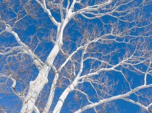sycamore tree, bark, winter