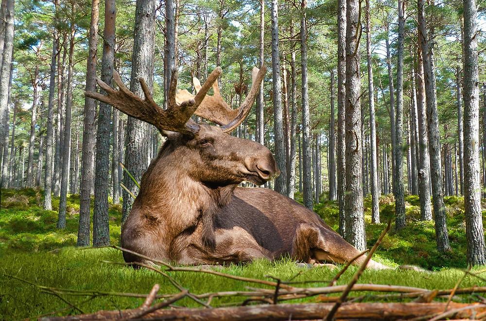 Hingefallen & durchgefallen. Der Elch und die Olivenöles in Schwedens Lebensmitteleinzelhandel (Bild: Pixabay)