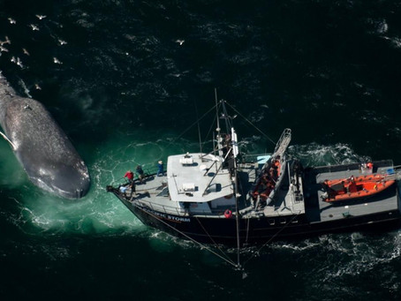 15-Year Study Demonstrates Risks to Blue Whales from Ship Strikes near California Coast
