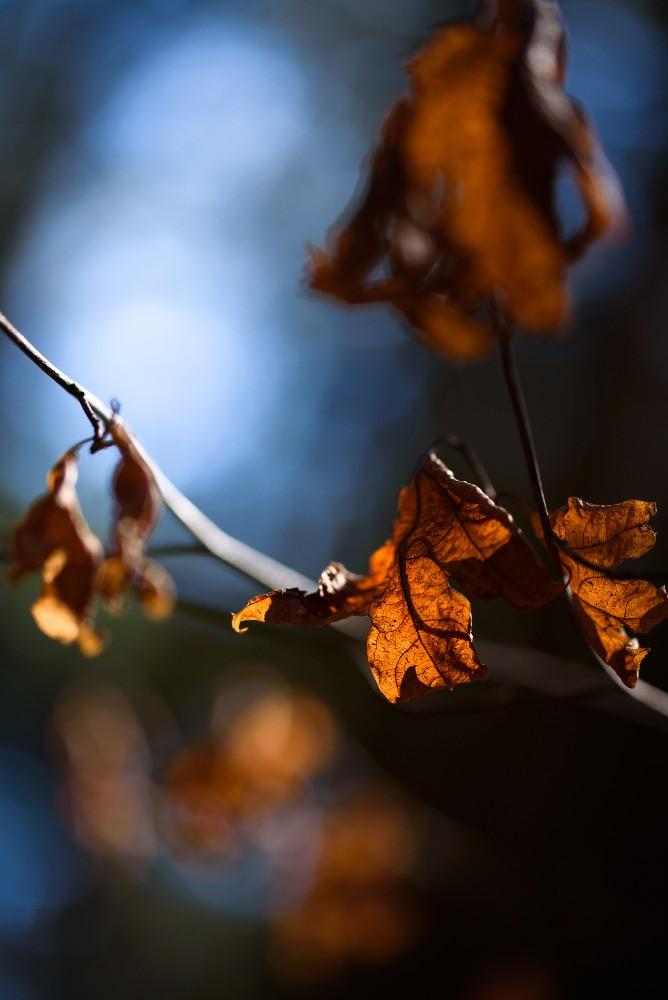 裏から照らされる枯れ葉 / Withered leaves lit from back