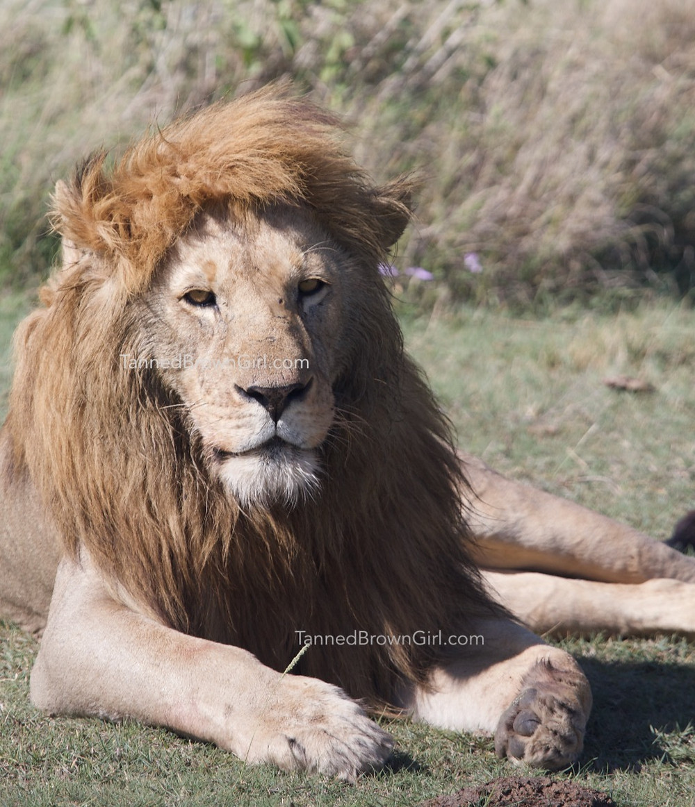 This lion is definitely modelling with it's mane looking like it's just been washed and blow dried.