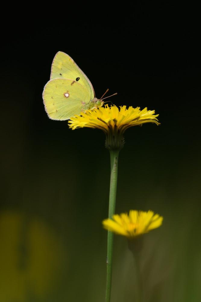 タンポポの花とモンキチョウ / Dandelion and eastern pale clouded yellow