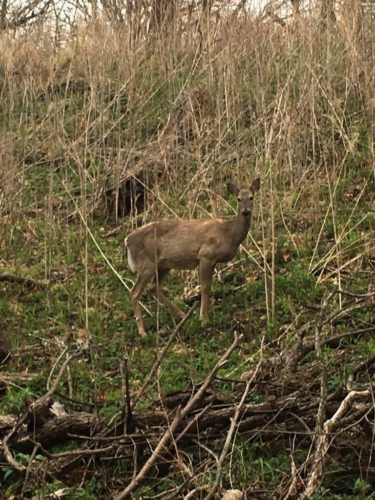 deer in Fontenelle Forest
