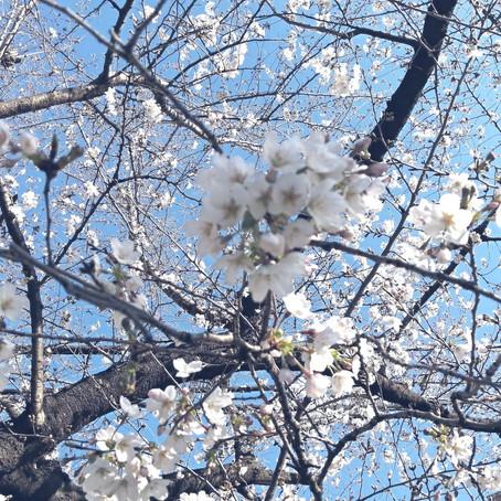 Объясним по-русски「桜の開花・満開」