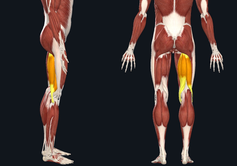 """The """"hamstrings"""" are made up of 3 different muscles in the posterior thigh (long head of biceps femoris, semitendinosus, and semimembranosus). They attach from the hip to the knee joints and act to flex the knee and extend the hip. In order to stretch this muscle you want to put it in a lengthened position—flex the hip and extend the knee."""