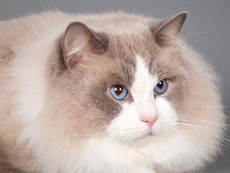 CAPE TOP CAT 2019