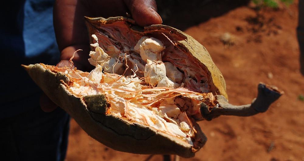 baobab fruit, baobab seed, baobab oil, baobab seed oil, organic skincare, natural skincare, beauty and wellness, luxury skincare, luxury spa products, organic face oil, organic serum