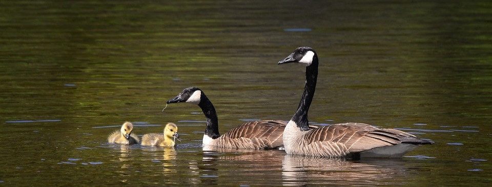 A family of Geese swimming in a water body