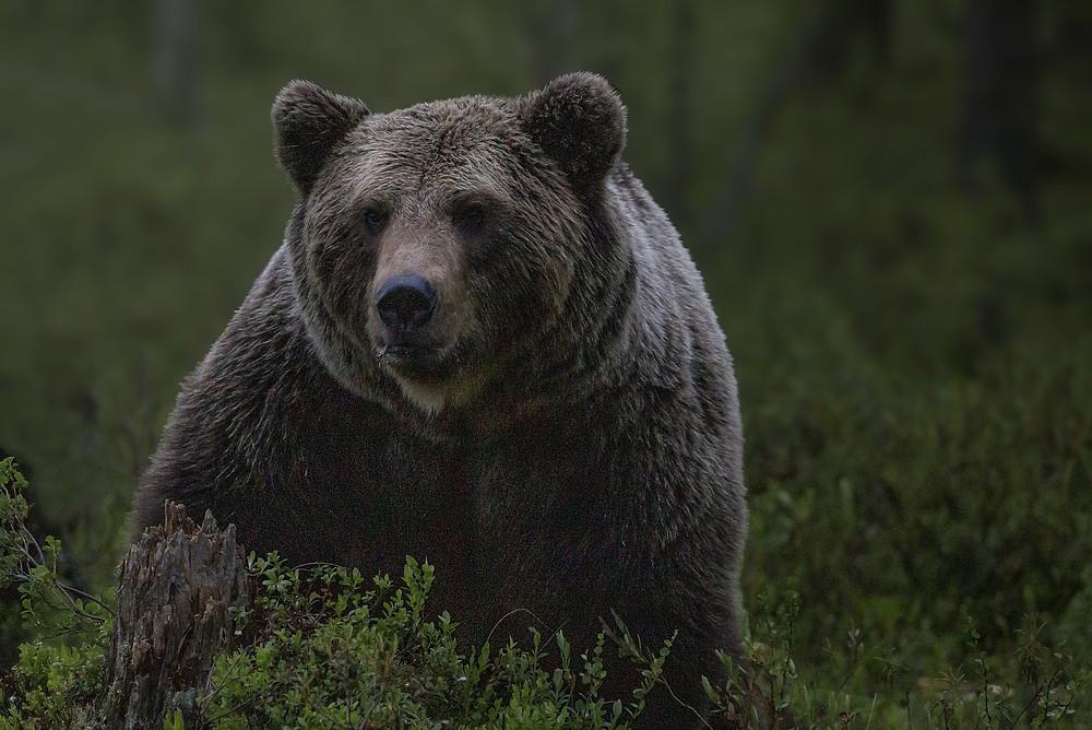L'ours et la cage, métaphore, hypnose, thérapie