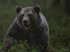 L'ours et la cage (métaphore)