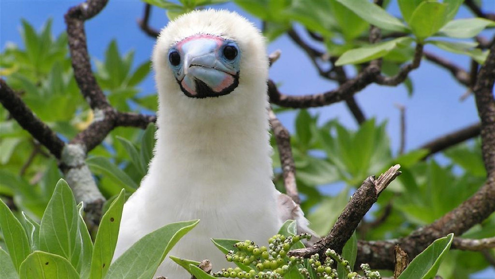 Baby red footed booby in a tree near the ocean in the Galapagos Islands