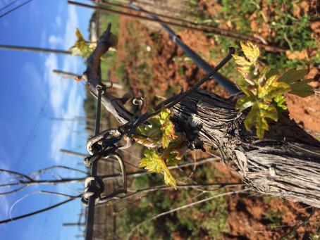 Neuer Wein von alten Stöcken
