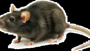 Ratos transmitem várias doenças