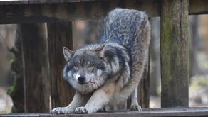 Der Wolf ist ein Geschäft, das verdrängt Agrarministerin Kinast