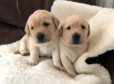 Adorable guide dog puppies named Bonnie and Henry in honour of BC's top doctor