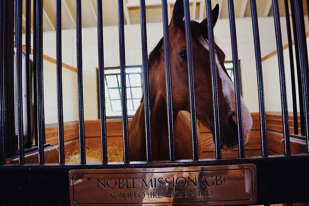 Noble Mission, full-brother to Champion racehorse Frankel, at Lane's End Farm.