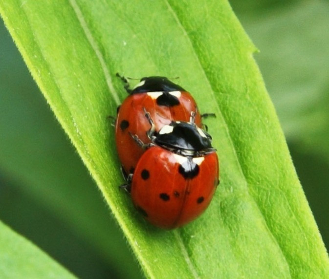 Ladybugs making Love, public domain image