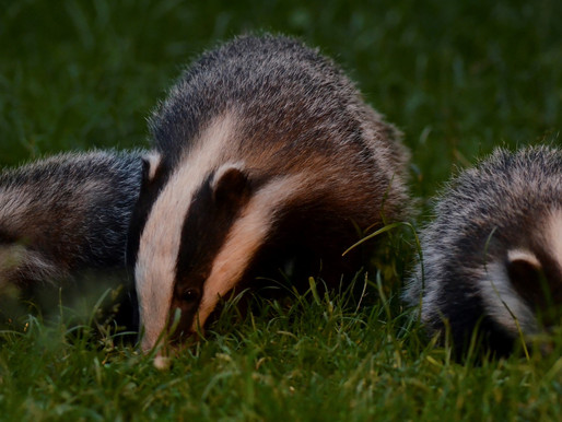 Badger Trust meets with Michael Gove