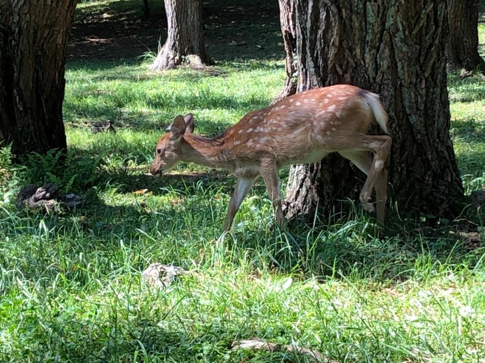 本栖湖 野生の鹿