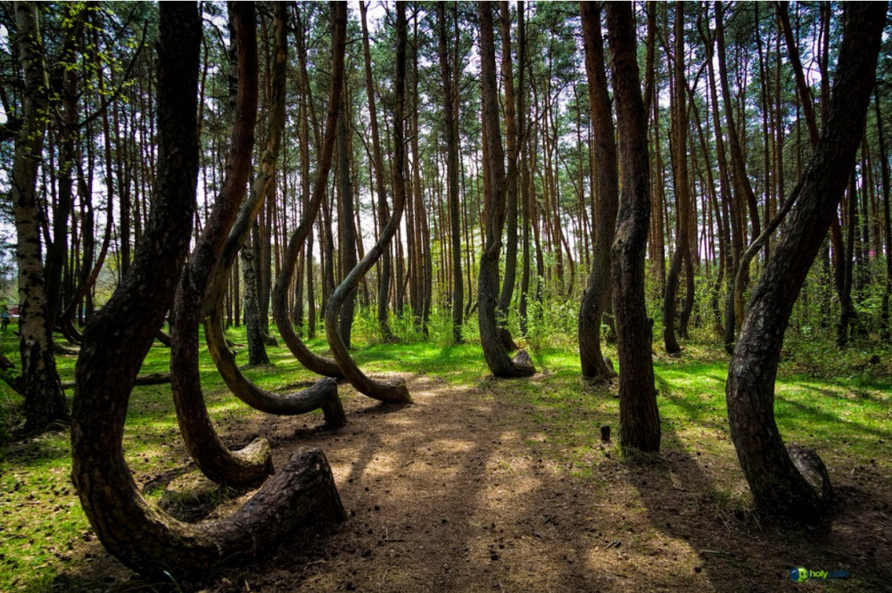 forêt tordue en pologne