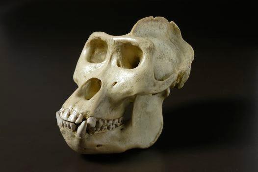 Image: Gorilla Skull, by thinglink.com