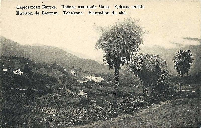 на фото: чайные плантации Удельного имения