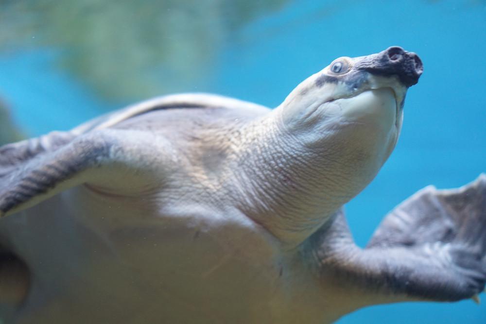 tortue à nez de cochon , tortue ,