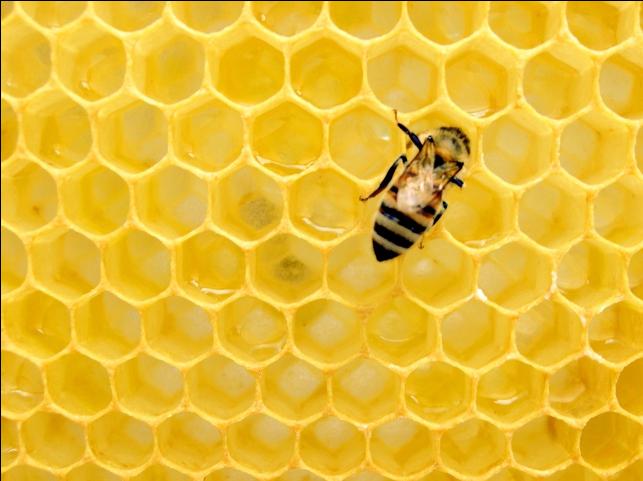 Honeybee upon honeycomb. Posted to Unsplash.com by Matthew T Rader
