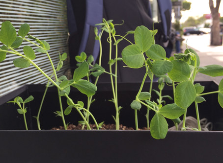 Transplanting sugar snap peas tendrils