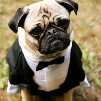 A pug dressed as James Bond