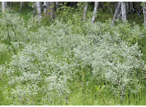 Wierzba lapońska - Salix lapponum L.