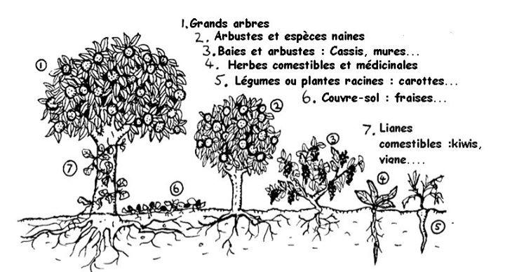 Dessin schématique de la composition des 7 strates d'un jardin-forêt