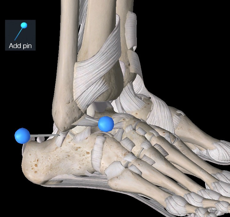 Ankle, ankle ligaments, lateral ankle, anatomy