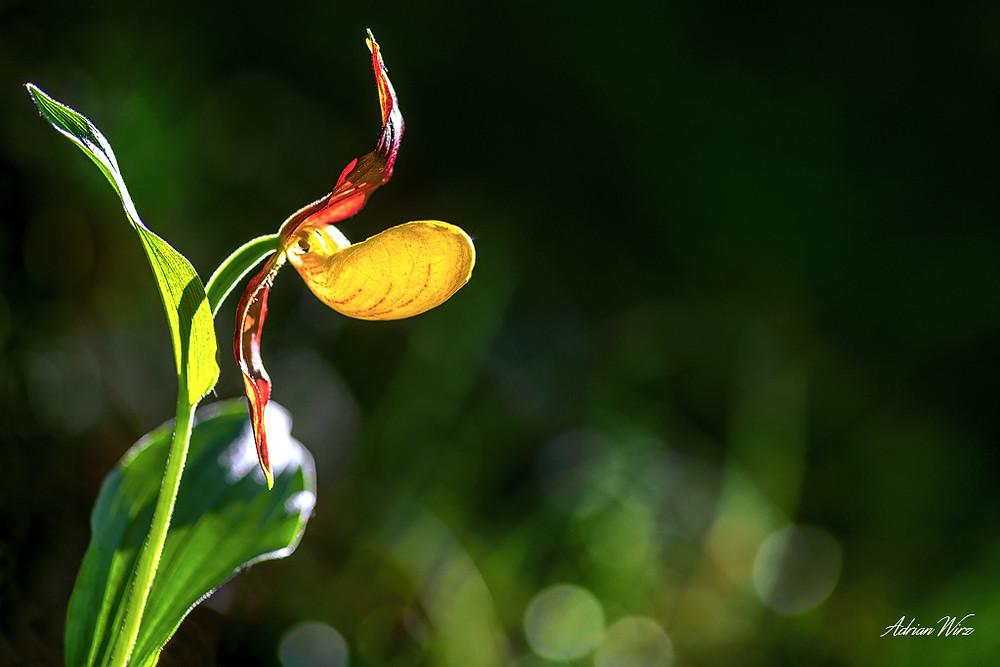 Orchideen im Baselbiet