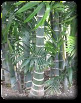 Beautitful ringed trunks of the Cabadae Palm