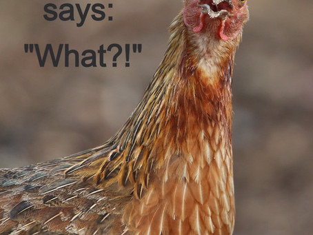 """Are """"Free Ranged"""" Chickens fed by Us?"""