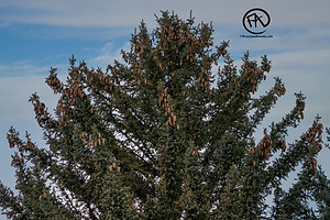 White-winged Crossbill flock