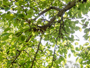 Ask Aaron: Pruning & Planting around Trees