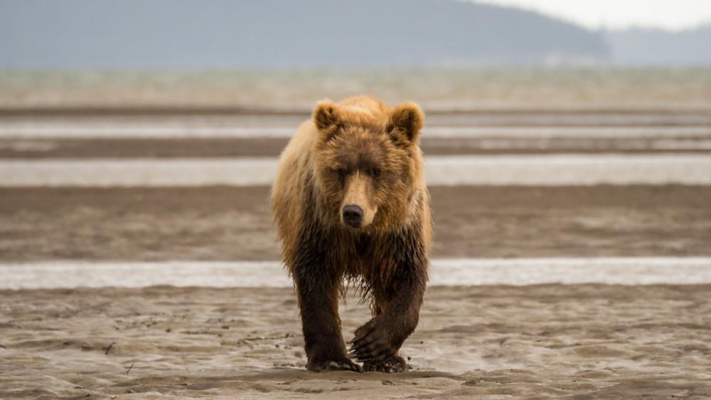 A bear just out of hibernation in Alaska