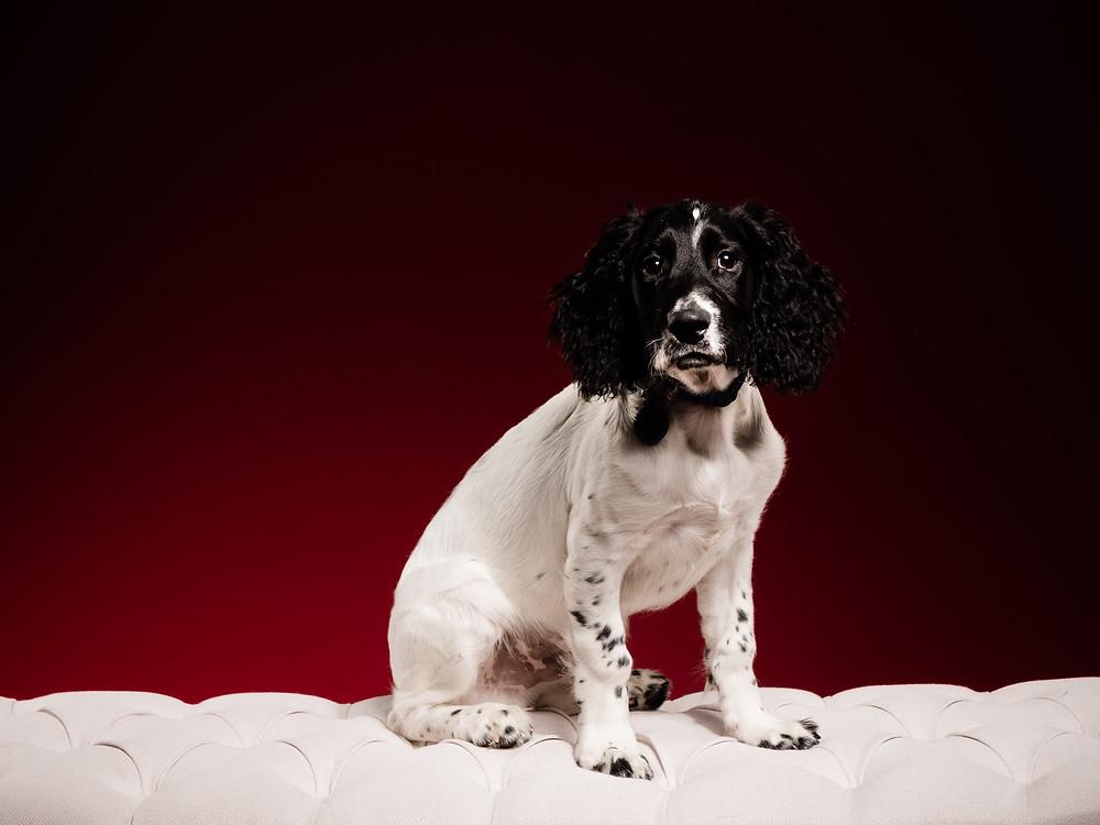 A sprocket spaniel puppy sitting